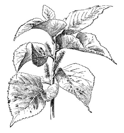 In this picture, the leaves are thick and large, the leaves are alternate like a heart, and flowers are small and blurry, 4-8 inches, vintage line drawing or engraving illustration. Ilustrace