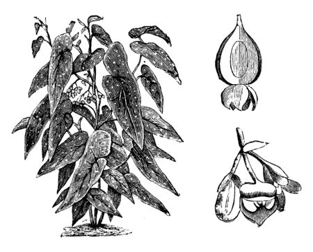 Begonia Maculata is a dotted, wooded shrub. White colored layers are placed on top of the leaf. The capsule has long, in oval shape, vintage line drawing or engraving illustration.