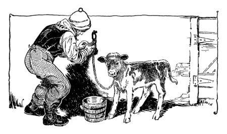 A man tying a calf to wall, vintage line drawing or engraving illustration