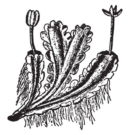 A picture of Blasia pusilla showing the margin of the talus having lobes in the form of leaves, vintage line drawing or engraving illustration.