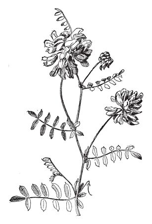 The flowers of the Coronilla Varia plant grow in dense clusters, which are pinkish white. These plants are spread from root to underground, vintage line drawing or engraving illustration. Ilustração