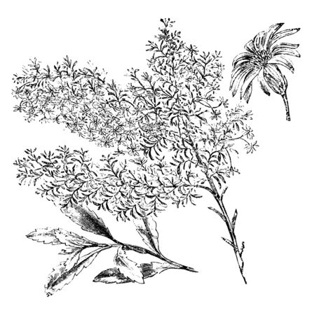 Olearia gunnia flowers are white and bloom in September. The branches are hoary. Pictured is a flowering branch, branchlet, and flower head of olearia gunnia, vintage line drawing or engraving illustration.