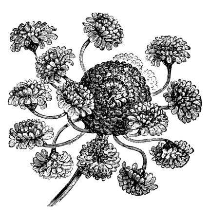 The main flowers are short stalks with little flowers and they attached to main flower, vintage line drawing or engraving illustration. Illusztráció