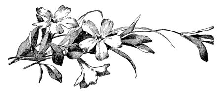 Vinca Minor, common name is periwinkle; family is Apocynaceae, native to Europe to southern Russia range. It spreads along the ground and rooted along the stems, it easily grow in average drained soil, vintage line drawing or engraving illustration. Illustration