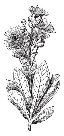 The leaves arranged in spirally, Flowers are found at the ends of the branches. Flowers look more beautiful because white and pink tips are attractive in flower, vintage line drawing or engraving illustration.