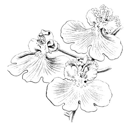 The sepals and petals of oncidium varicosum flowers are pale, dull green with dull brown. The lip is large and bright yellow. The scapes are strong, about three feet long, vintage line drawing or engraving illustration. 向量圖像