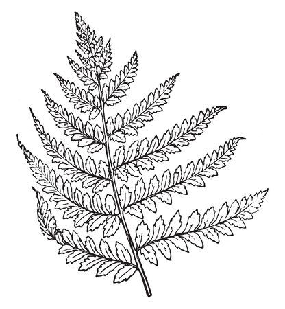 This is Lady Fern branch. The leaves are a bright green, with a fine-textured lacy appearance. The lady fern and its varieties are easily cultivated in any damp, shady spot, vintage line drawing or engraving illustration.