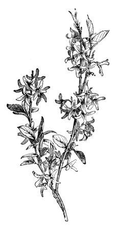 Forsythia Suspensa is flowering plants in the family of Oleaceae. The plant flowers are tiny with four petals and leaves are opposite, vintage line drawing or engraving illustration.