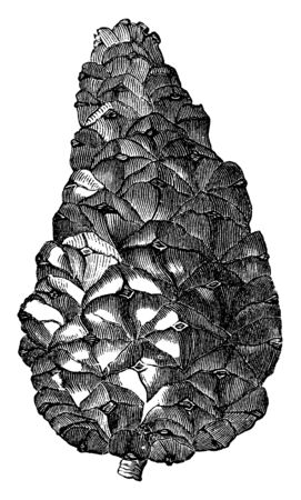 This picture shows a cone of Pinus Pyrenaica. The cones are pyramidal in shape, slightly curved and about two and a half inches long, vintage line drawing or engraving illustration.