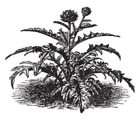 This is an image of Artichoke plant. This vegetable grows to 1.4-2 m tall, with arching, deeply lobed, silvery, glucose-green leaves 50-82 cm long, vintage line drawing or engraving illustration. Çizim