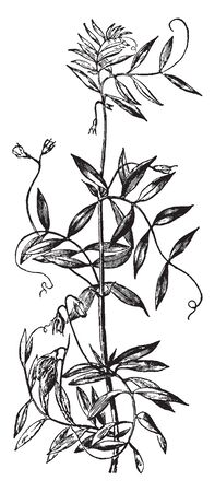 The leaves are alternate, with six pairs and seeds may be more or less compressed in shape, vintage line drawing or engraving illustration. Ilustração