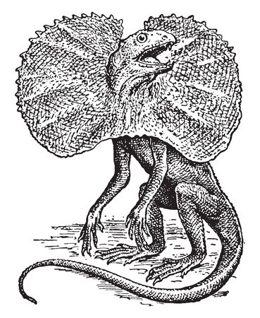 Frilled Lizard reaches a length of about thirty two inches and receives its name from the presence of a large expansion of skin at either side of the neck, vintage line drawing or engraving illustration. Çizim