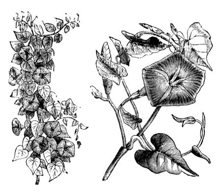 The flowers of Ipomoea Rubro-Caerulea are white in bud, with the limb of a rich lake-red. Each stem has three to four flowers, vintage line drawing or engraving illustration. Иллюстрация