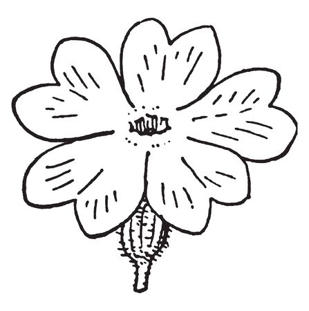 These flowers petals are heart shaped. There are 5 petals on the flower. The lower part of the flower, Receptacle is hairy, vintage line drawing or engraving illustration. Иллюстрация
