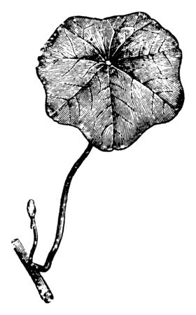 Peltate Leaf is in rounded shape and it is look like a little shield, vintage line drawing or engraving illustration.