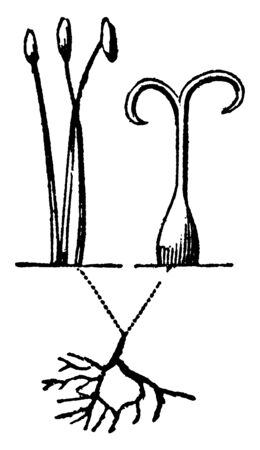 A picture showing Linnaeus Monoecia. This is the sexual system of a plant and here having a stamens and pistils in two different flower of the same plant, vintage line drawing or engraving illustration.