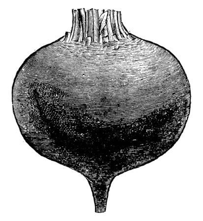 This is root of beets plant root. It has the same shape as the round, vintage line drawing or engraving illustration.