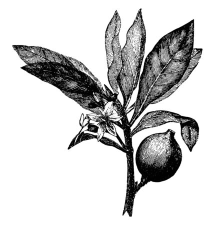 The image shows a Huito also known as Genipa Americana. It belongs to family Rubiaceae. The leaves are glossy dark green, with entire margin, acute or acuminate apex and attenuate base, vintage line drawing or engraving illustration.