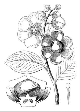 Lecythis is a flowering plant. The image showing bud, leaves, stamen and flower branch of this plant, vintage line drawing or engraving illustration. Иллюстрация
