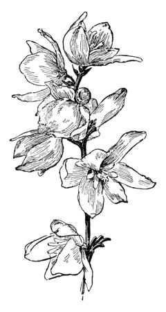 It is member of lily family which is known for a lump of pointed leaves and flowering stalk, vintage line drawing or engraving illustration.