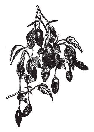 The Tabasco pepper is a variety of chilli pepper species Capsicum frutescens. It is best known through its use in Tabasco sauce, followed by peppered vinegar, vintage line drawing or engraving illustration. Ilustracja