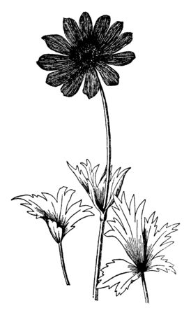 A picture is showing a branch and flower of Anemone Fulgens plant. The flowers of Anemone fulgens are two inches wide and live scarlet with a black stamen. Several leaves grow under each flower, vintage line drawing or engraving illustration. Иллюстрация