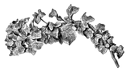 Stiffly upright ivy forming a neat bush with erect stems of 3-lobed heart-shaped dark green leaves with wavy margins. This is unusual, non-climbing ivy that needs a semi-shaded position, vintage line drawing or engraving illustration. Ilustração