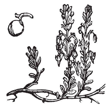In diesem Rahmen befindet sich eine Cranberry-Pflanze. Die Pflanze hat zarte Blätter und die Pflanze bekommt Kirsche, Vintage-Linien-Zeichnung oder Gravurillustration.