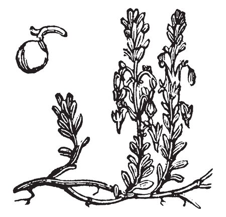 In this frame there is a cranberry plant. The plant has delicate leaves and the plant is getting cherry, vintage line drawing or engraving illustration. Çizim