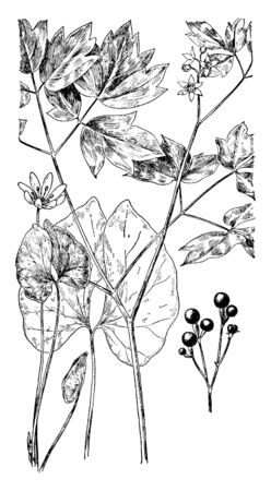 It is small plant. Twin leaf has small flower with eight petals. Plant leaves are large and nearly separate in half, vintage line drawing or engraving illustration.
