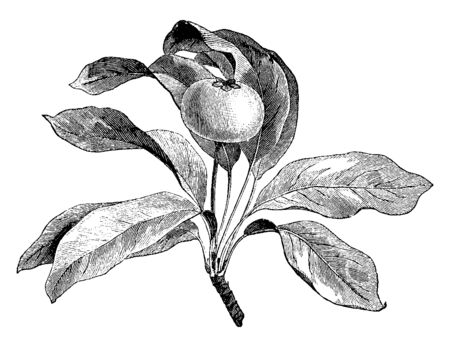 A picture showing a branch of Pyrus Leucocarpa which is a plant which grows peculiar white fruits, vintage line drawing or engraving illustration.