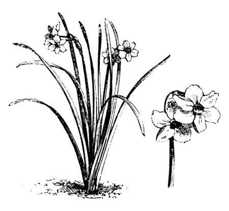 An illustration of the habit and detached flowers of Narcissus Biflorus which normally blooms in May. This is a hybrid variety of white flowers of Narcissus, vintage line drawing or engraving illustration.