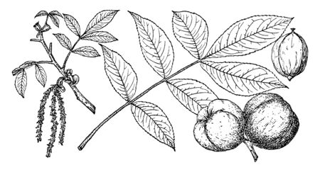 A picture of Mockernut Hickory tree. It is marked with branching ridges. This tree grows on rich, moist, well-drained soils of upland areas. Fruits September-October, with a dark reddish brown husk, vintage line drawing or engraving illustration.