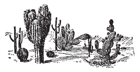 Cacti are genus of Cactaceae. The plants have large and fleshy stems with a watery & no leaves, vintage line drawing or engraving illustration. Illustration