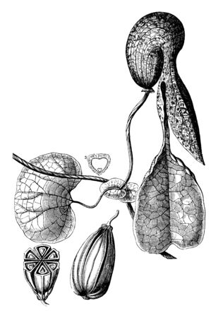 A picture is showing Mottled Dutchmans Pipe, also called Aristolochia galeata. This is ornamental plant, native to Brazil. This is: 1. fruit of an Aristolochia, 2. cross section of it, 3. half seed, vintage line drawing or engraving illustration. 矢量图像