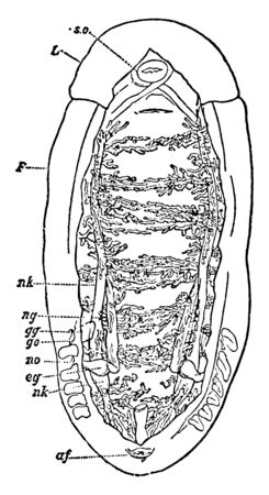 Dissection of the Renal Organs of a Chiton in which edge of the mantle not removed in the front part of the specimen, vintage line drawing or engraving illustration. 일러스트