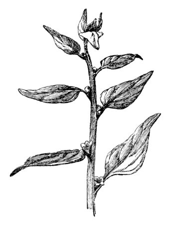 A picture is showing Tetragonia Expansa. This is spinach native to New Zealand, vintage line drawing or engraving illustration.