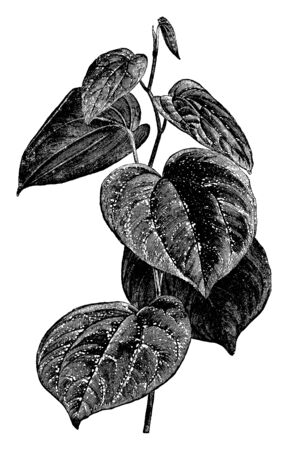 It shows a branch of Piper Porphyrophyllum with leaves. It is generally between 4 and 6 inches in length and consists of rich bronzy-green leaves, vintage line drawing or engraving illustration.