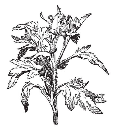 The image shows a crown bud of Chrysanthemum. These flower buds initiate easily and develop rapidly. The leaves are large and cone shaped, vintage line drawing or engraving illustration. Ilustrace