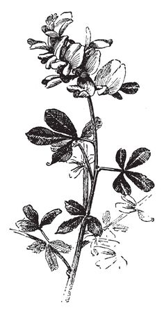 This species is an evergreen shrub. The leaves are oval-shaped leaflets each up to long and densely hairy and flowers are yellow, vintage line drawing or engraving illustration. Иллюстрация