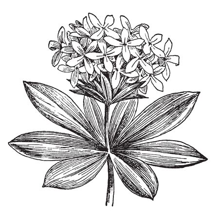 Asperula Odorata is known as sweet woodruff. It is a small perennial that grows up to 30 cm in height, vintage line drawing or engraving illustration.