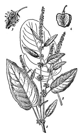 The two main dock species are the broad-leaved dock and the curled dock. The leaves are broad and flat, heart-shaped at the base, vintage line drawing or engraving illustration. Illusztráció