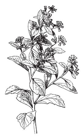 Groundsel is an annual weed, it has quite fleshy leaves and stems and green flower heads which contain a number of yellow florets, vintage line drawing or engraving illustration.