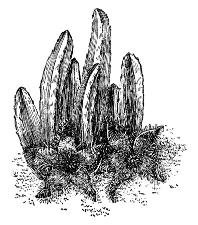 Stapelia Grandiflora is a tufted cactus-like plant with large and showy starfish shaped flowers, vintage line drawing or engraving illustration.