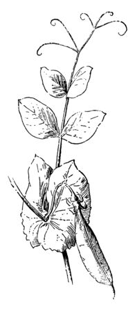 This is the Pea Leaf with pea beans. Leaf edges are soft-plain. It grows on climber plant. It also has small, smooth fibers, vintage line drawing or engraving illustration.