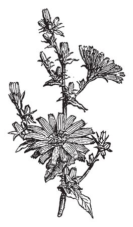 Chicory is a herb. The flowers are 2 to 4 cm. wide and are usually a bright and light blue, vintage line drawing or engraving illustration. Ilustracja