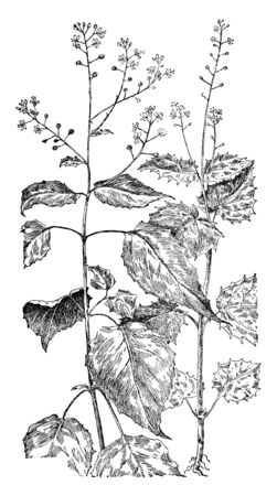 A picture is showing Enchanters Nightshade, also known as Circaea Lutetiana. It belongs to Evening Primrose family. In this: Left is Enchanters Nightshade and right is Alpine Enchanters Nightshade, vintage line drawing or engraving illustration.