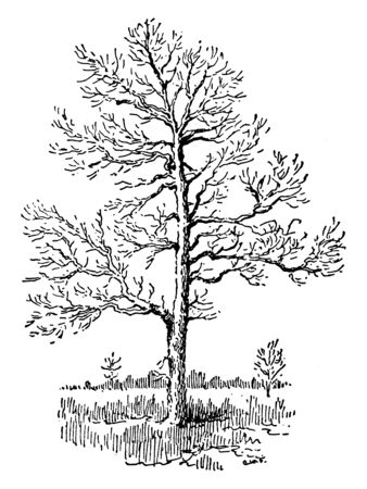 Picture of Sassafras Tree. Sassafras is a genus of three extant and one extinct species of deciduous trees in the family Lauraceae, native to Eastern North America and eastern Asia, vintage line drawi