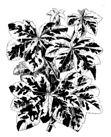 Lavatera Arborea Variegata is the flowering plant. Its flowers are pale purple Variegata. They are showy flower and variegated leaves, vintage line drawing or engraving illustration. Illustration