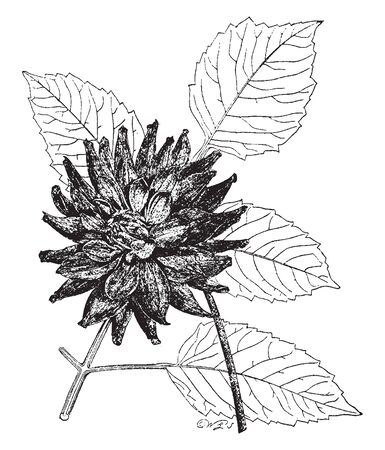 A picture is showing Original Cactus Dahlia, commonly known as dahlia juarezii. Flowers heads are brilliant scarlet, vintage line drawing or engraving illustration. Ilustrace